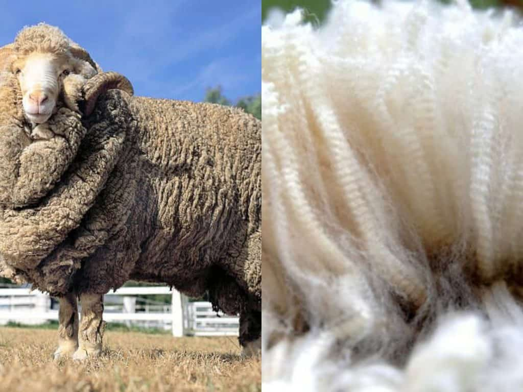 Merino Collage